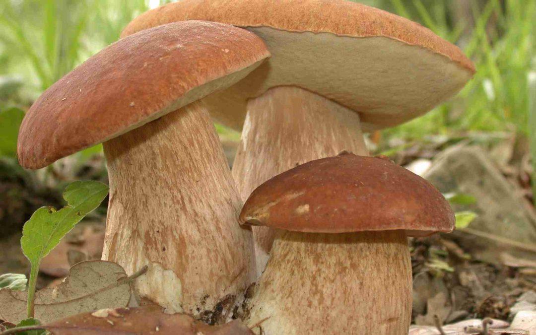 Raccolta dei funghi a Serino, ecco la normativa